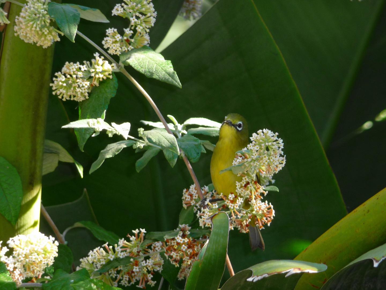 Sooooo süß: Kapbrillenvogel