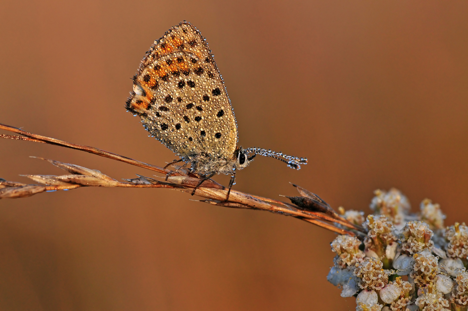 Sooty Copper #3