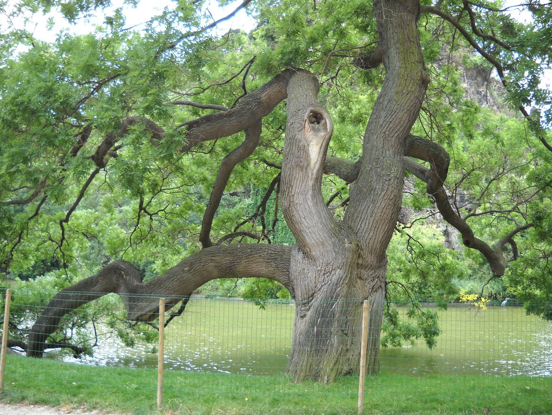 Sophora Japonica au Parc des Buttes Chaumont