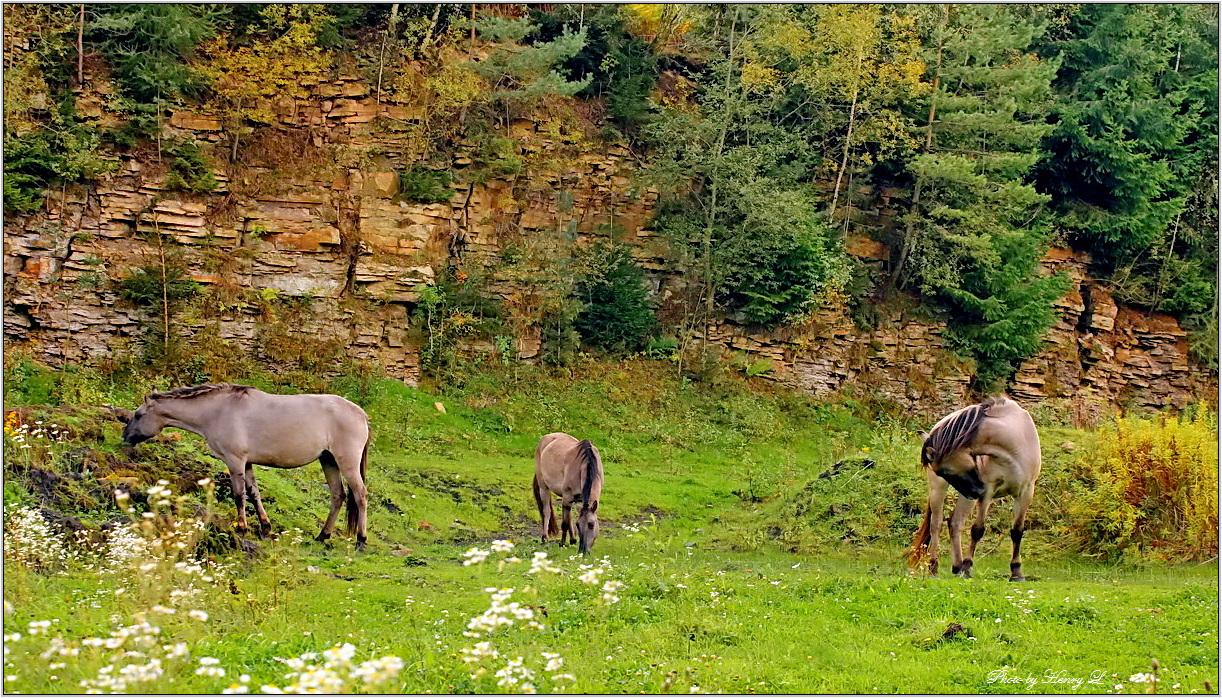 Sorraia Pferde