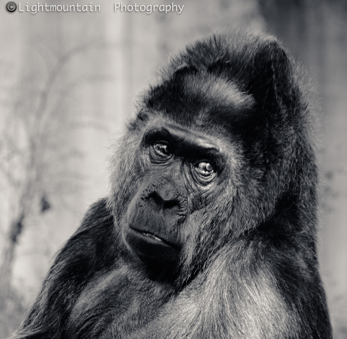 sorrowful Gorilla