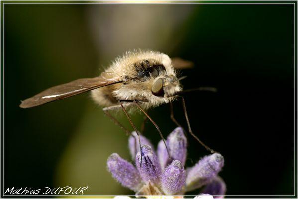 Sorte d'abeille