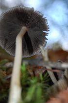sous-champignon