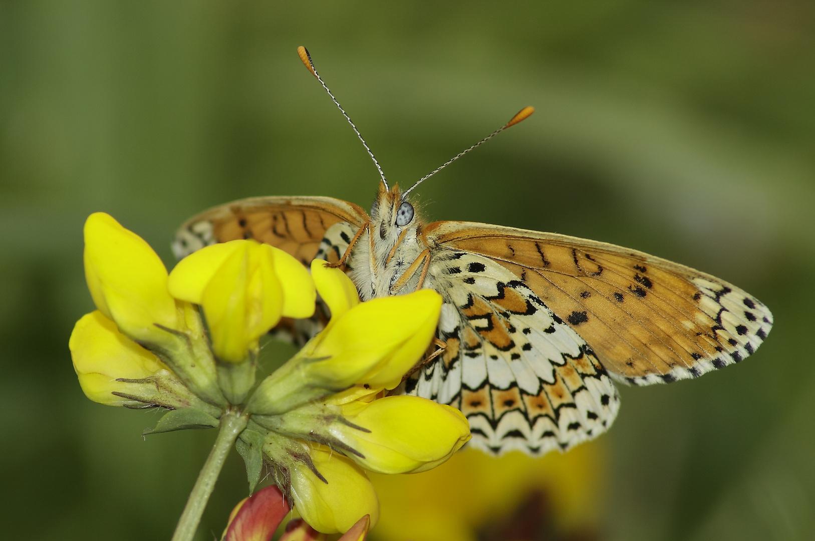 Sous les ailes du papillon .