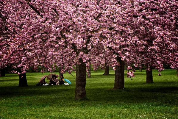 Sous les arbres en fleurs