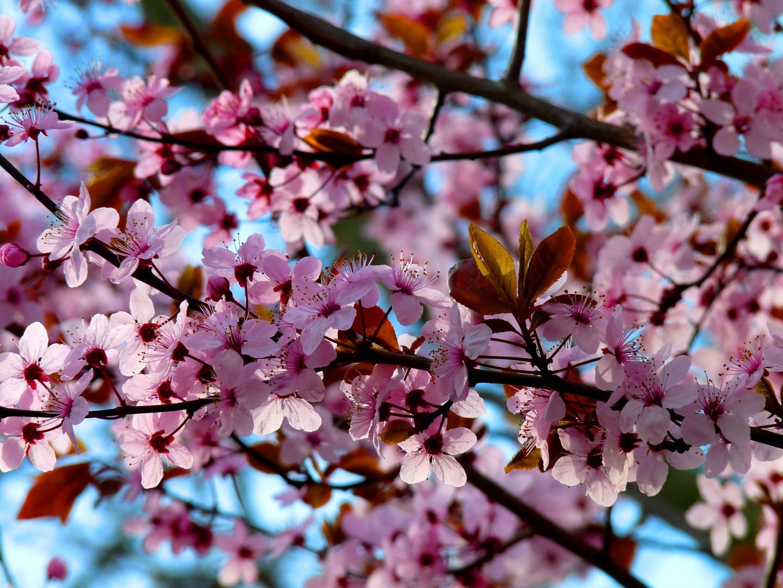Sous les cerisiers en fleurs