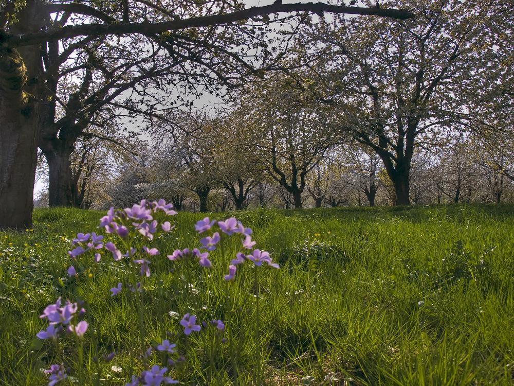 sous les cerisiers II