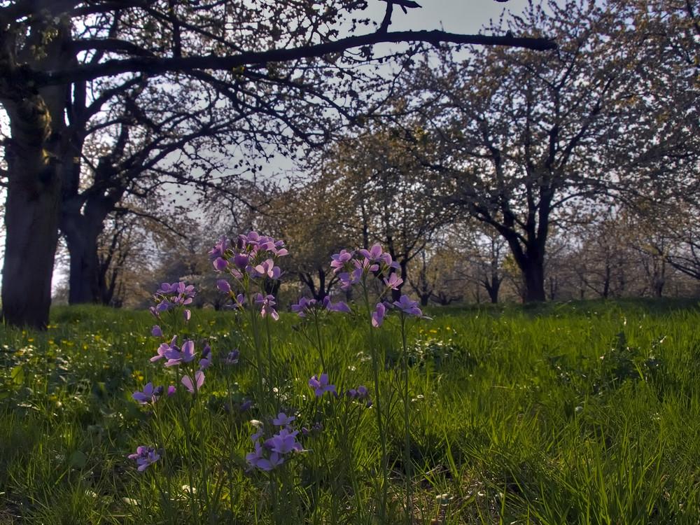sous les cerisiers III