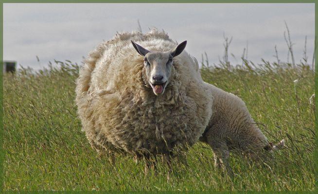 Sous une epaisse couche de laine