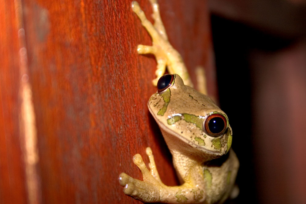 South African Tree Frog