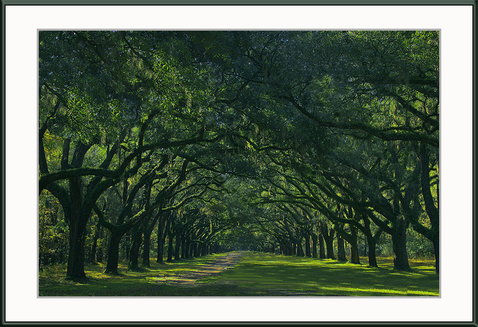 Southern Live Oaks