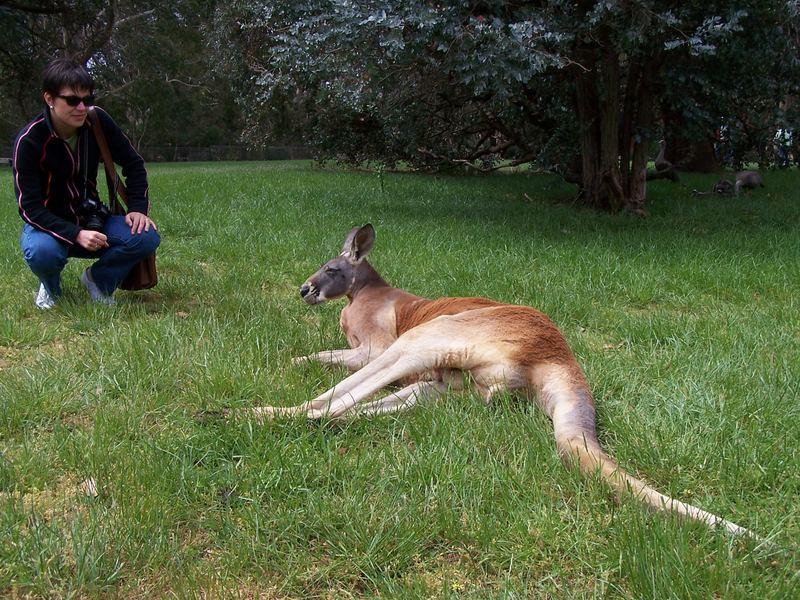 Soviel zum Roten Riesenkänguruh