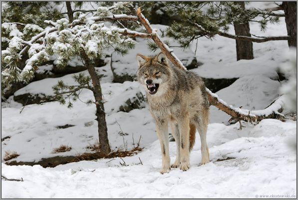 sozial organisiert... Wolf *Canis lupus*