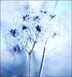 Spacy Ranunculus
