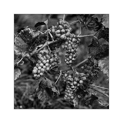 Spät - Burgunder