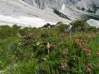 Späte Alpenrosenblüte
