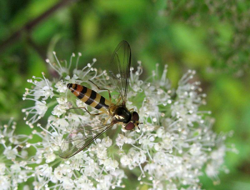 Späte Frühlingsschwebfliege Meliscaeva cinctella