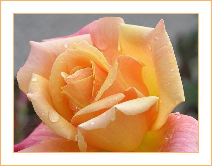 Späte Rose