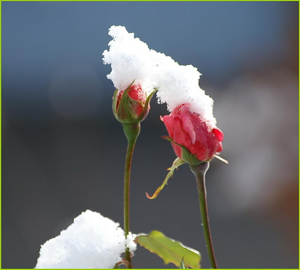 Späte Rose oder früher Schnee