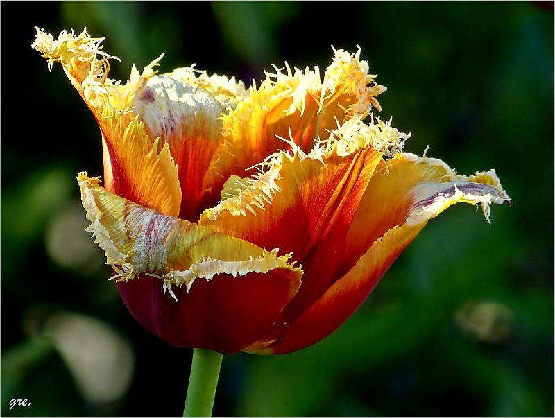 Späte Tulpen II