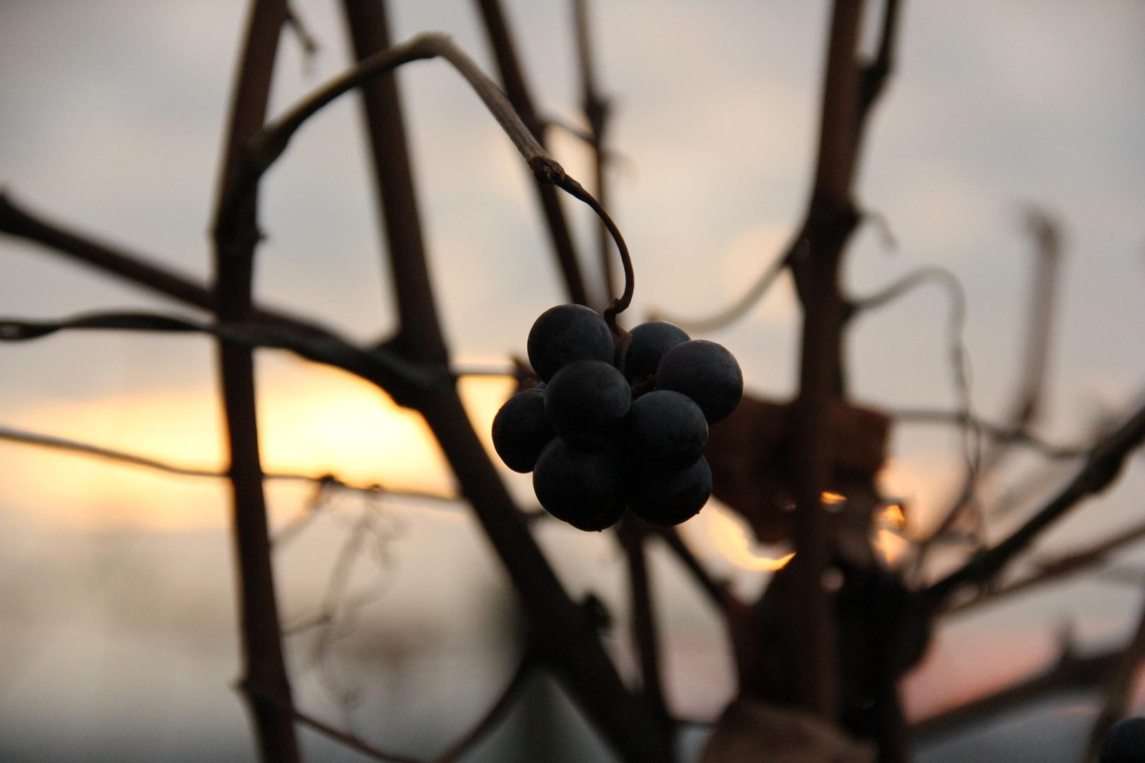 Spätlese Weintrauben