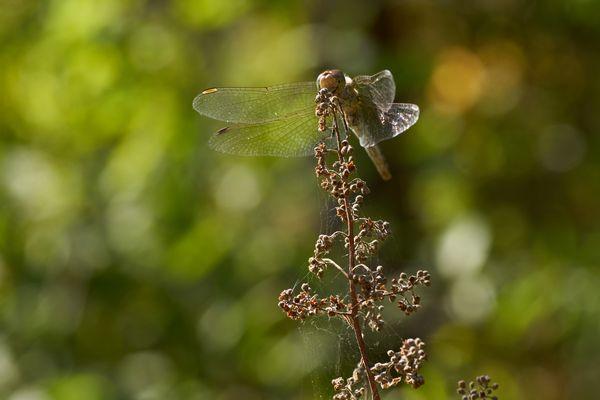 Spätsommer: Libelle tankt die Sonne noch