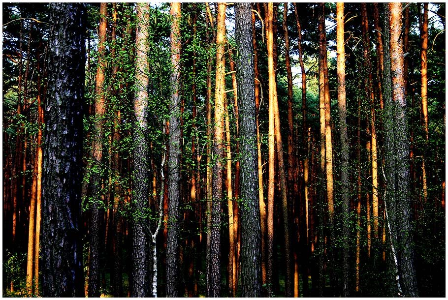 Spätsommerabend im Wald