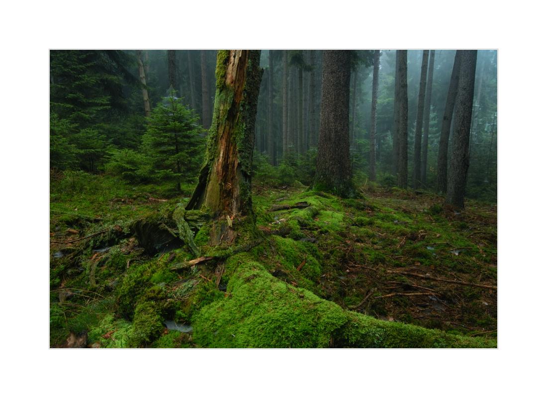 Spätsommerwald mit Nebel...