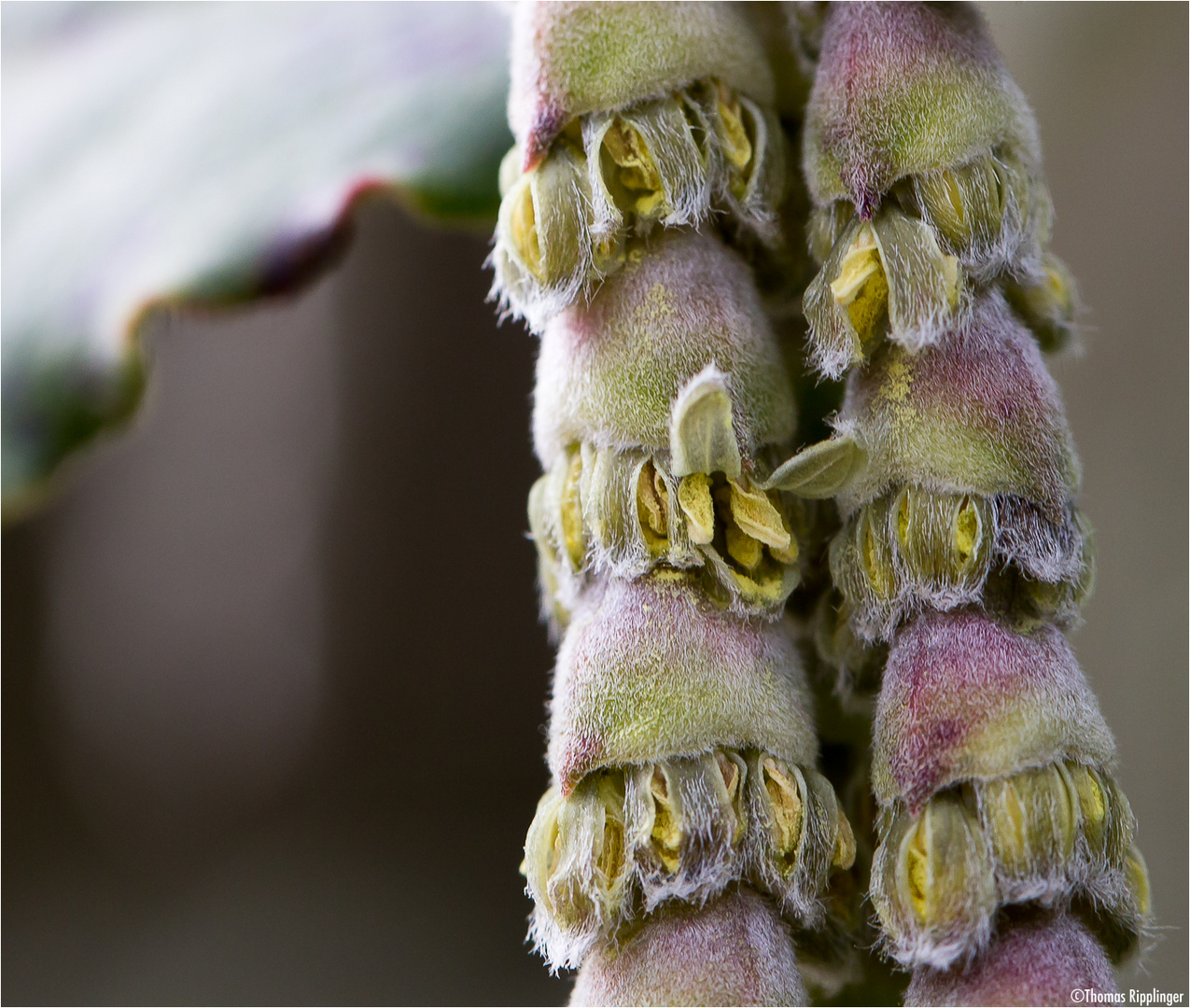 Spalier-Becherkätzchen (Garrya elliptica Douglas ex Lindl.)...