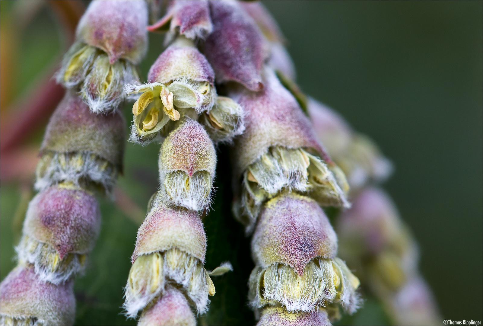 Spalier-Becherkätzchen (Garrya elliptica Douglas ex Lindl.)....