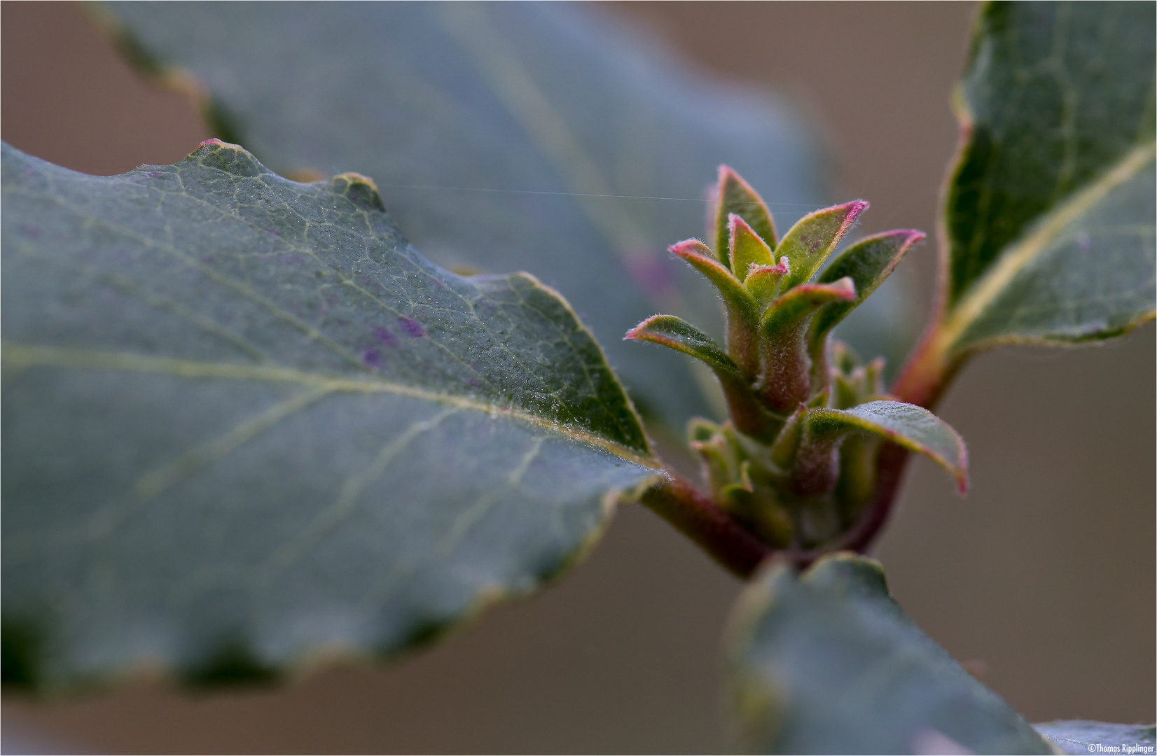 Spalier-Becherkätzchen (Garrya elliptica Douglas ex Lindl.)..