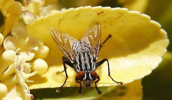 Spanische Fliege