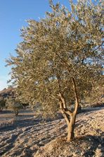 Spanische Oliven im Winter... / Aceitunas españolas en invierno...