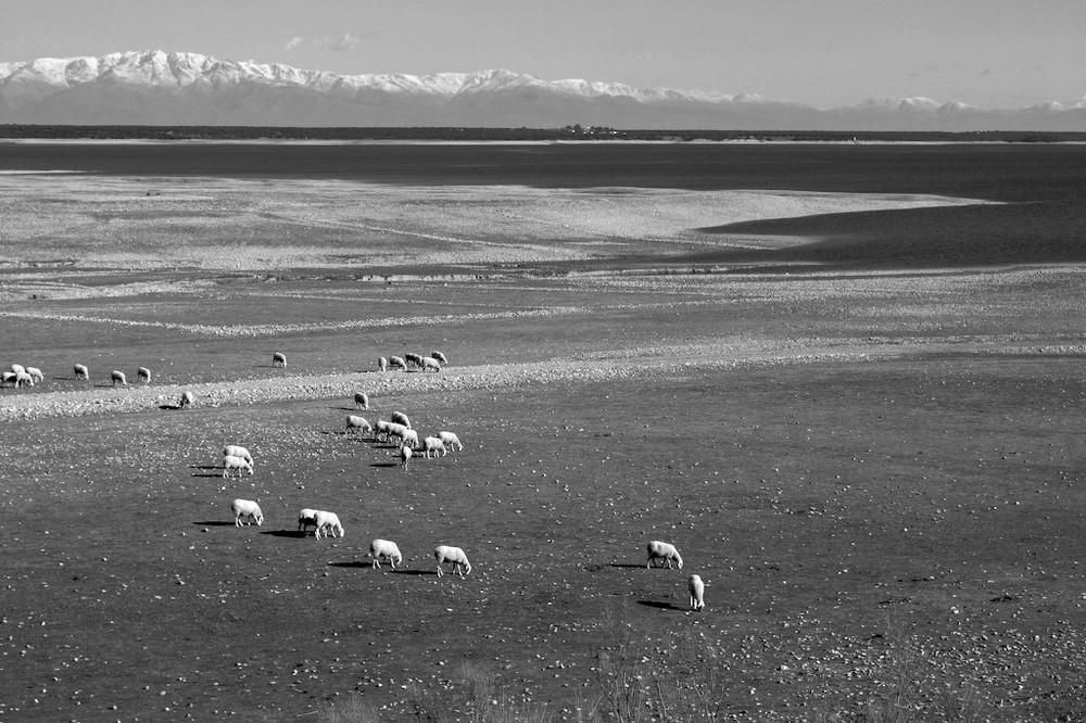 spanische Schafe