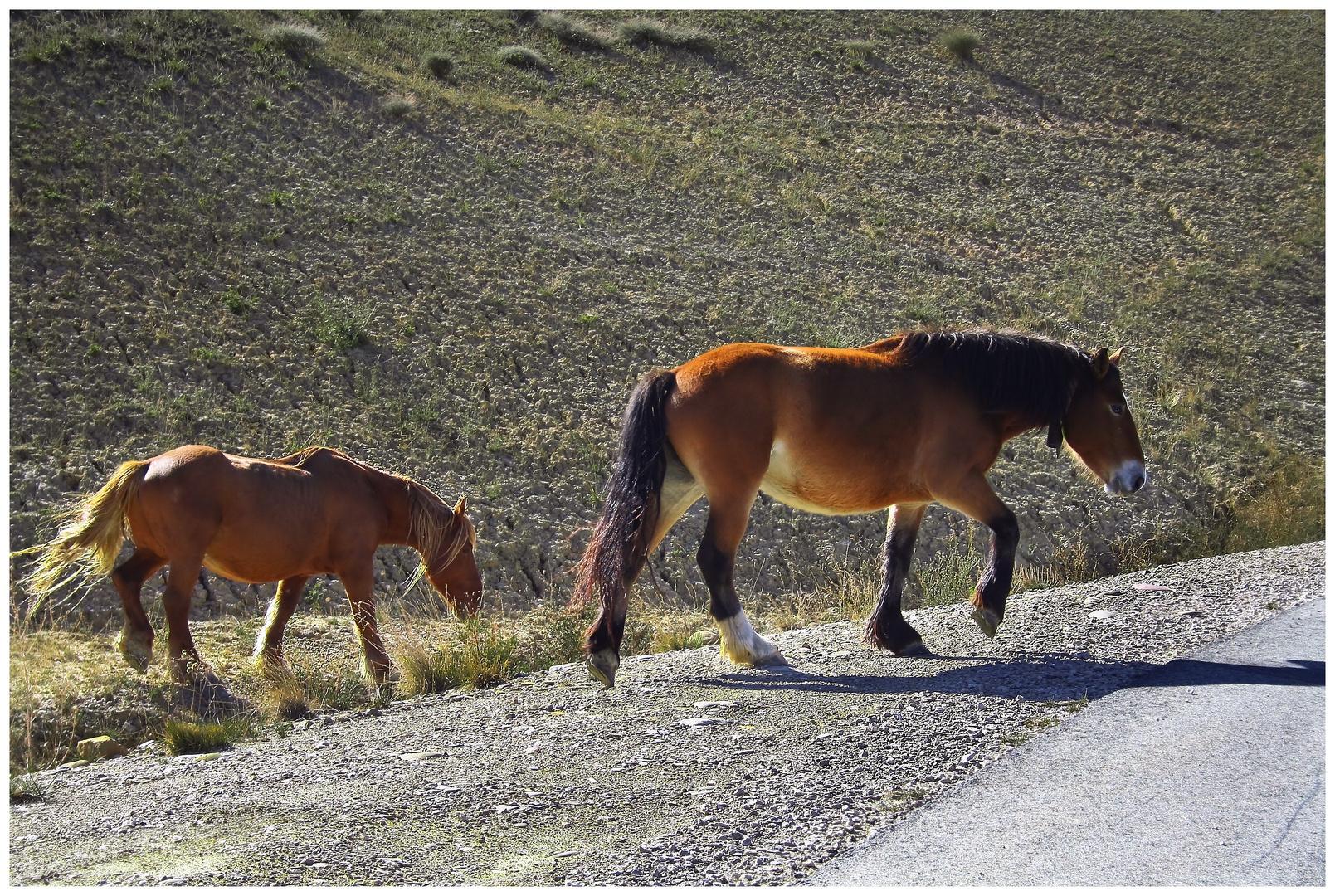 Spanische Wildpferde