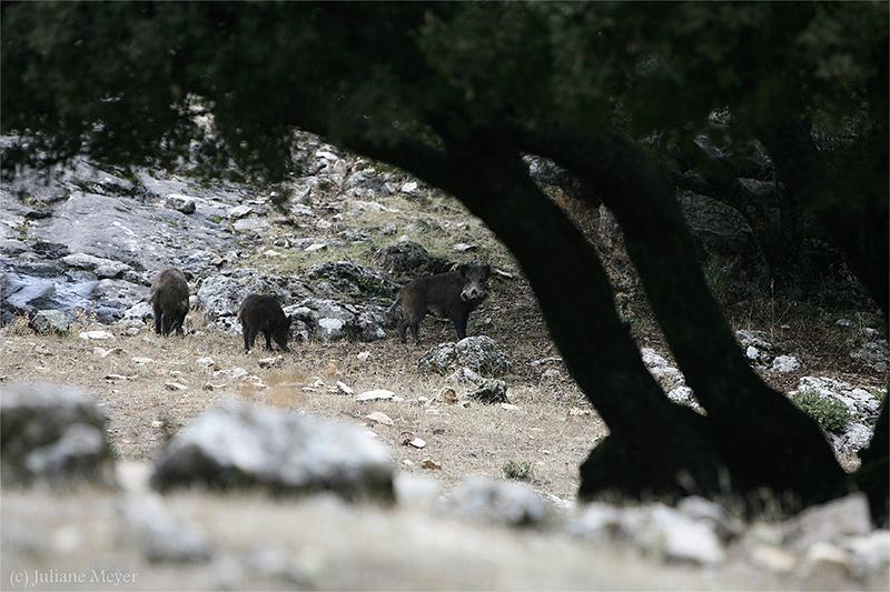 Spanische Wildschweine