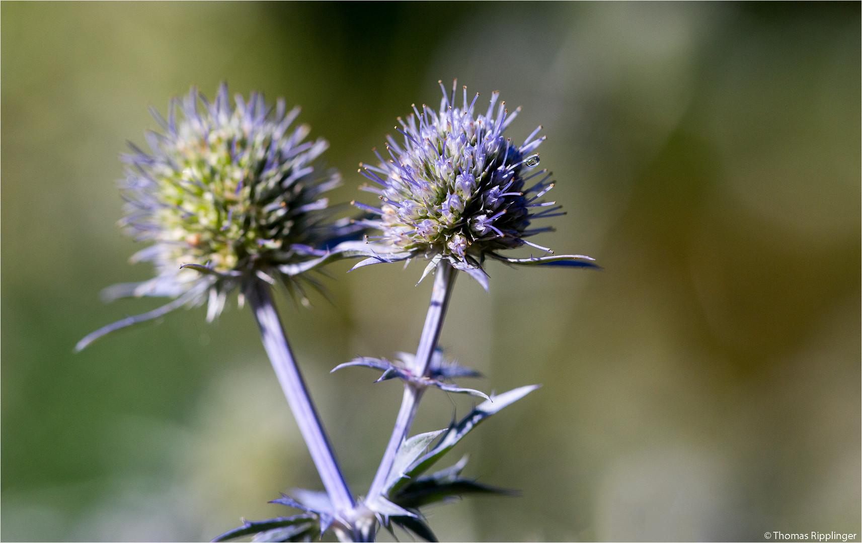 Spanischer mannstreu (Eryngium bourgatii)..