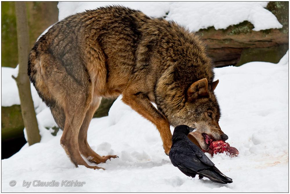 Spanischer Wolf