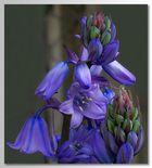 Spanisches Hasenglöckchen (Hyacinthoides hispanica)