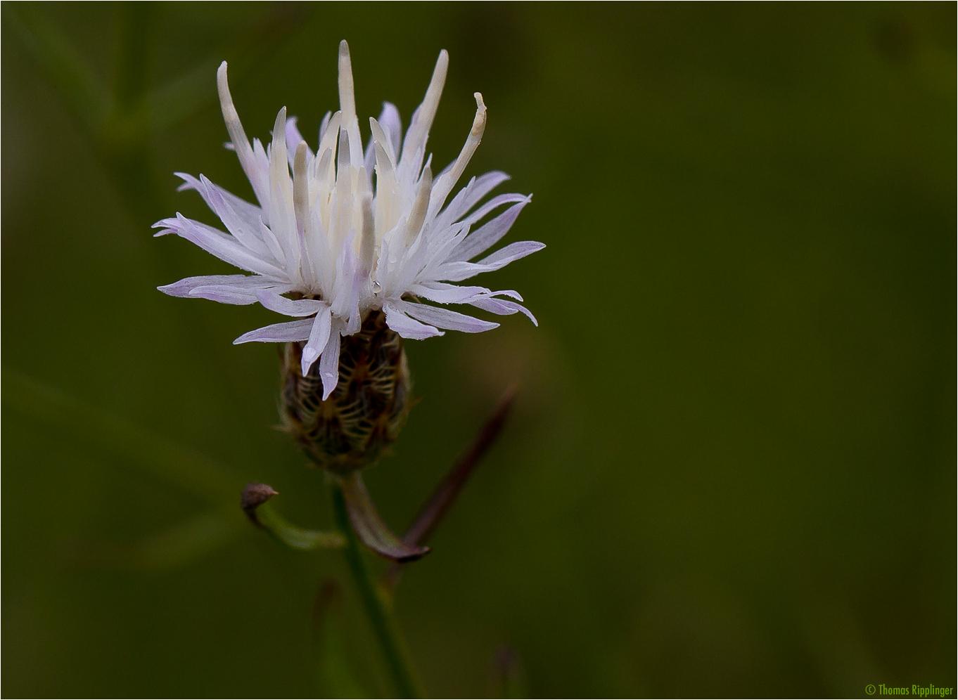 Sparrige Flockenblume (Centaurea diffusa)