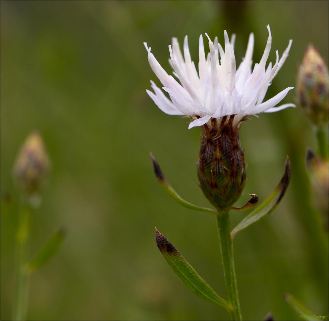 Sparrige Flockenblume (Centaurea diffusa)....