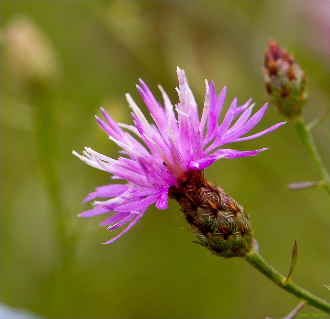 Sparrige Flockenblume (Centaurea diffusa)...