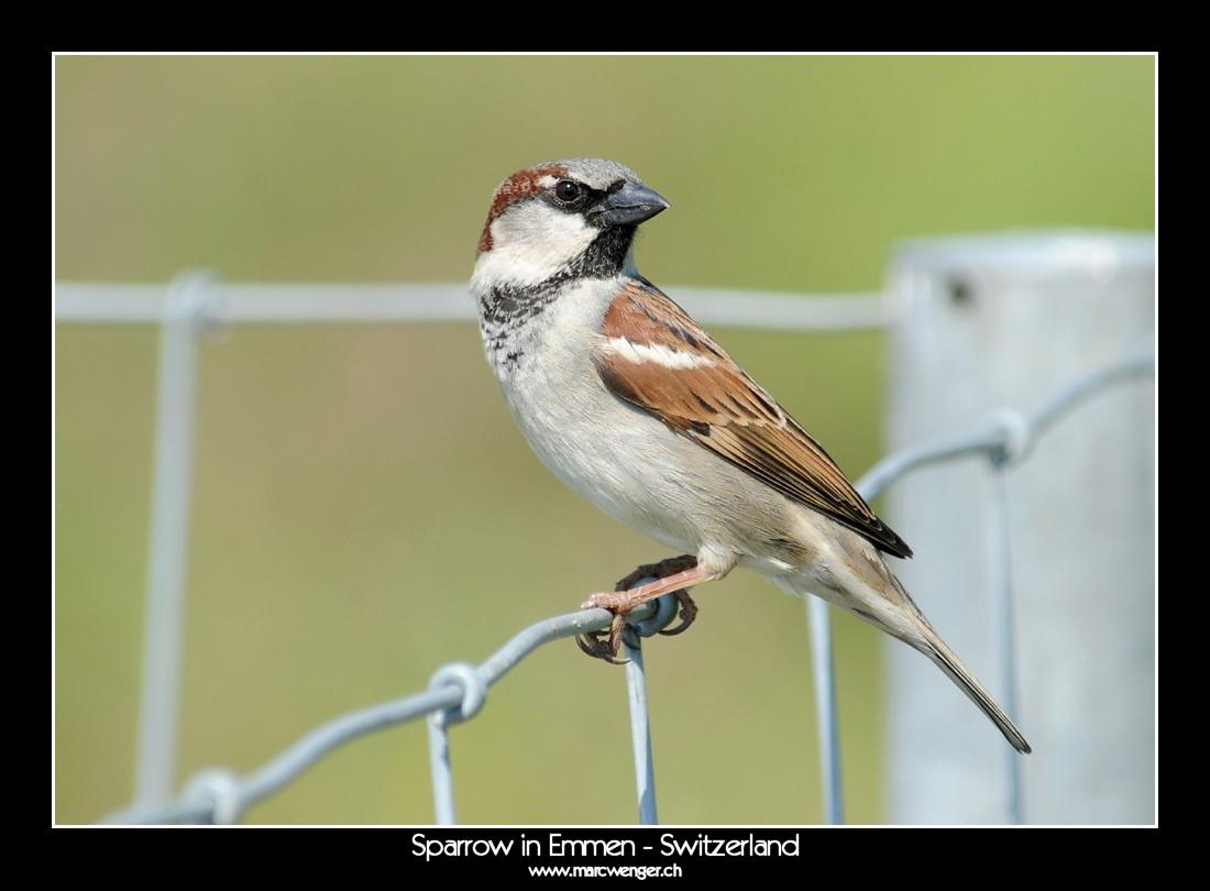 Sparrow in Emmen - Switzerland