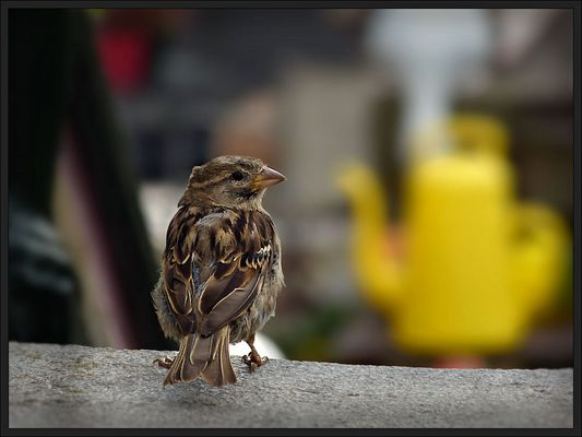Sparrow on the garden stairs