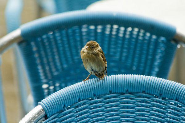 Sparrow under the rain