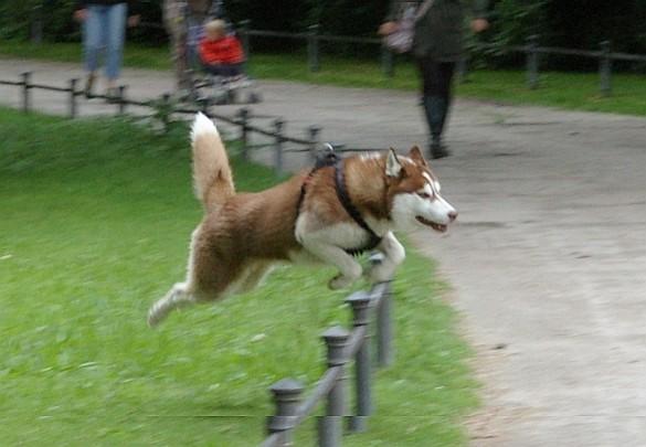 Spaß am Laufen - Huskey im Sprung