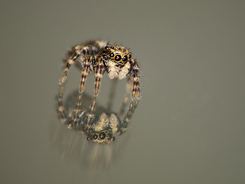 Spaß mit Springspinnen 2