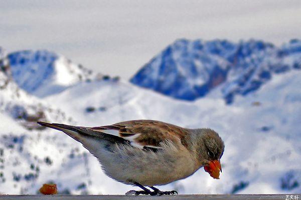 Spatz in den Dolomiten