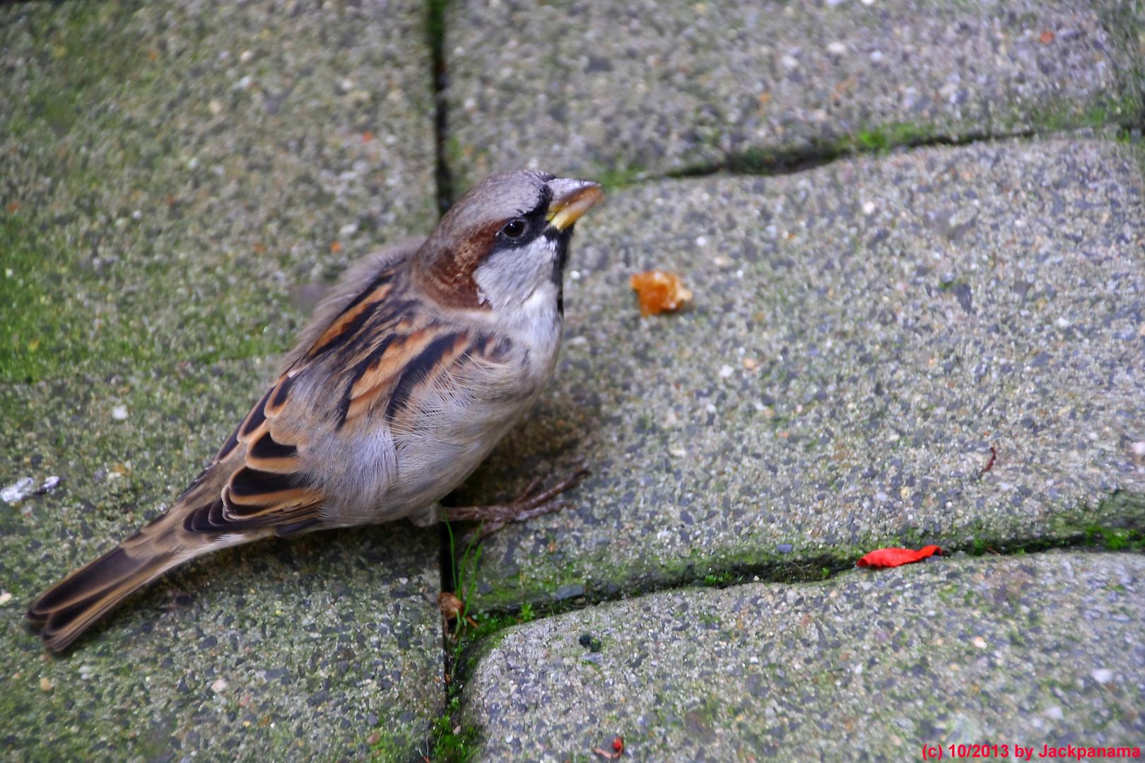 Spatz (Passer domesticus) auf Futtersuche (1)