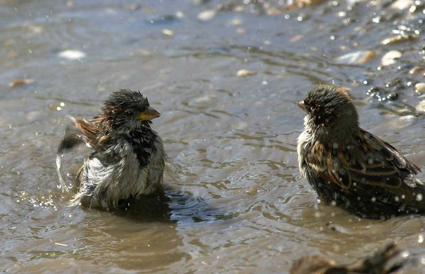 Spatzen beim baden.